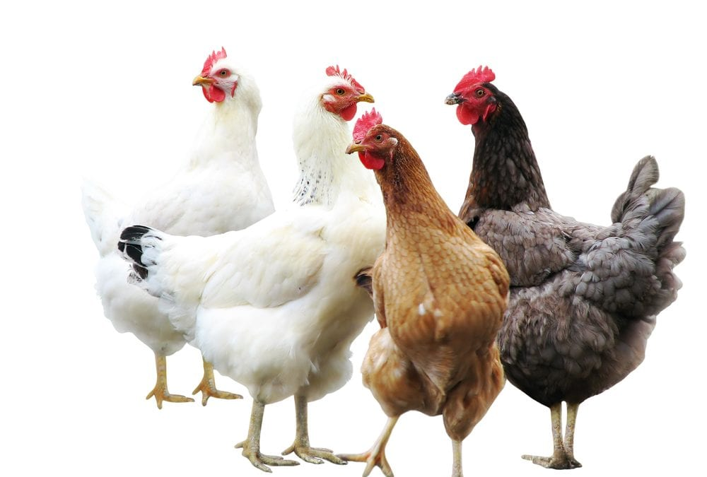Top 2 Reasons for Using Poultry Disinfectant
